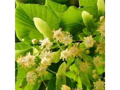 Köyceviz Ihlamur Çiçeği 20 Gr