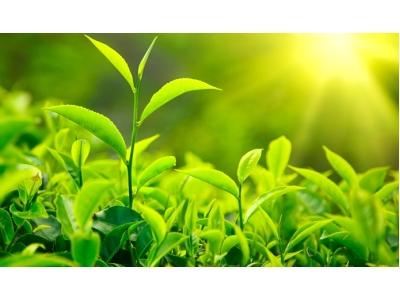 Organik Çay Nedir ?